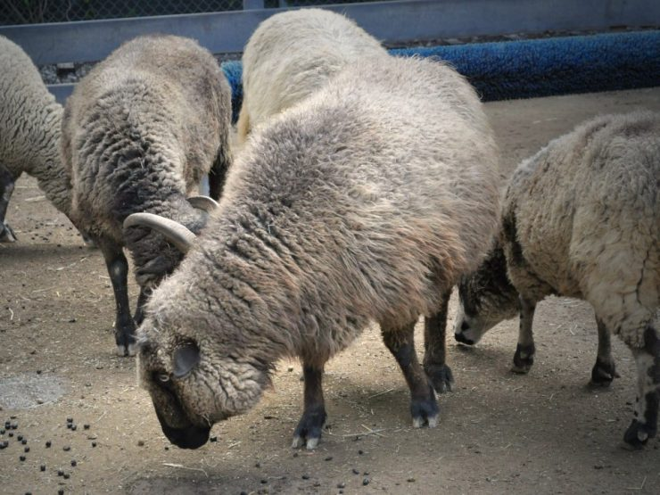 Sheep feed is available at Cherokee Feed & Seed