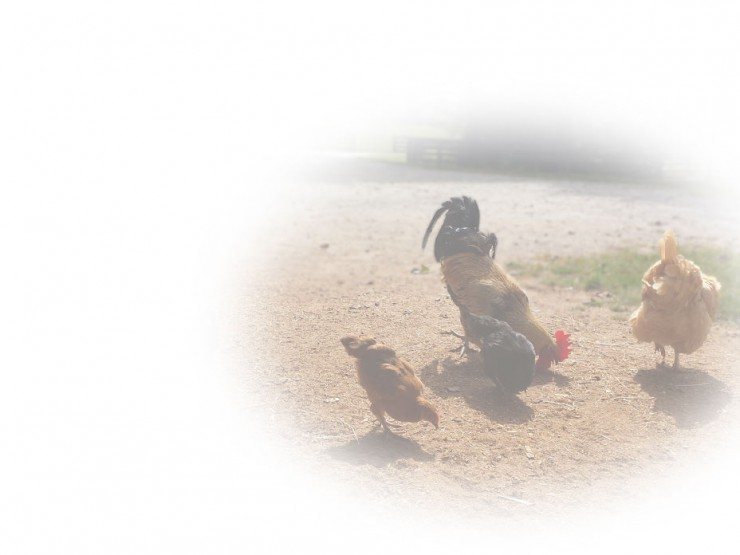 Chickens, chicks, feed and supplies at Cherokee Feed & Seed