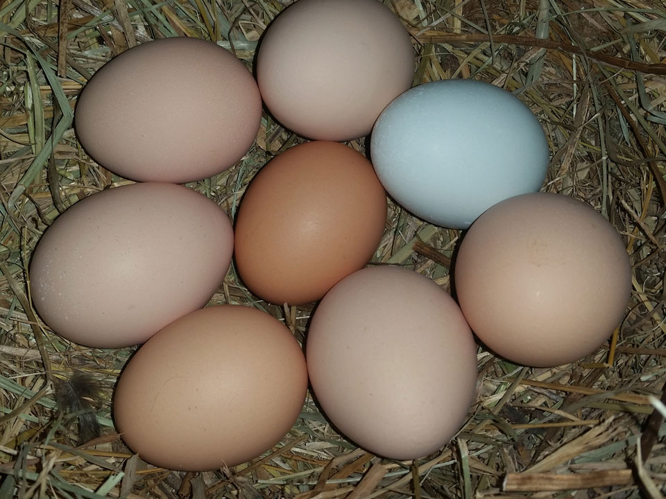 Some chicken breeds are called Easter Eggers because of the colored eggs they lay.