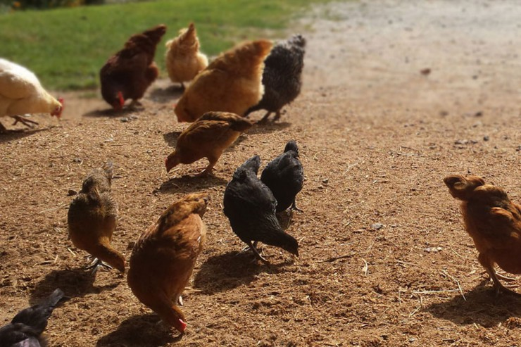 Chickens and supplies at Cherokee Feed & Seed