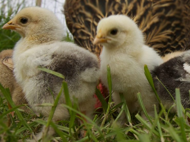 The chicks are here at Cherokee Feed & Seed in Georgia!
