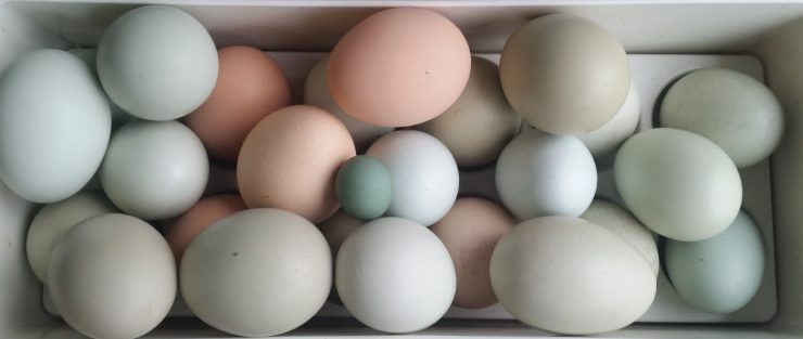 Blue, Olive and Brown Chicken eggs
